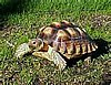 SULCATA OR AFRICAN SPURRED TORTOISE