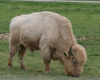 American Bison or Plains Buffalo (White)